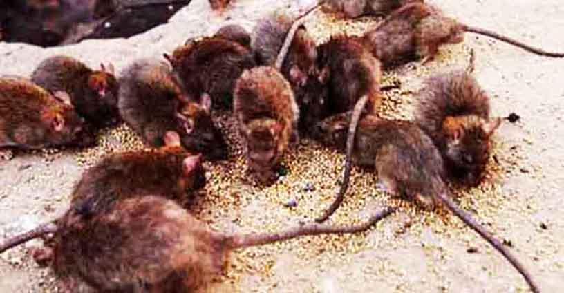 Công ty diệt chuột Vĩnh Phúc
