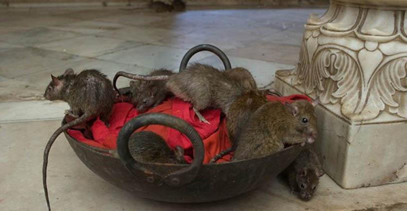 Công ty diệt chuột Thái Nguyên